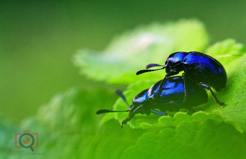 blue bugs mating