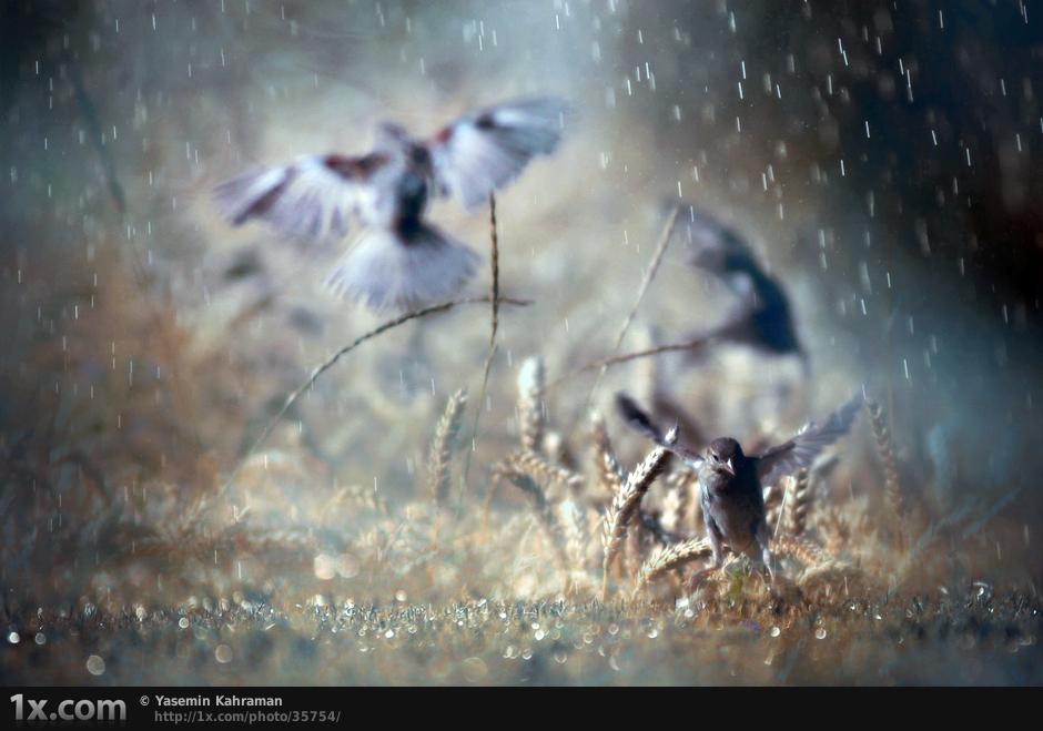 three birds in rain