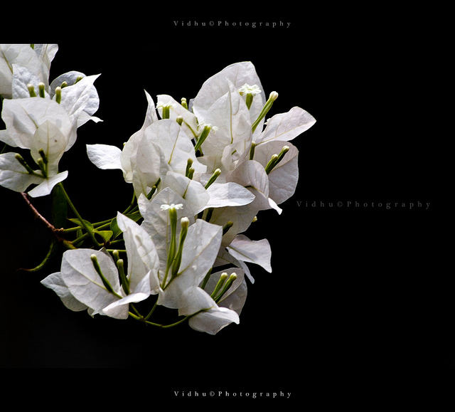 low key image of a white flower