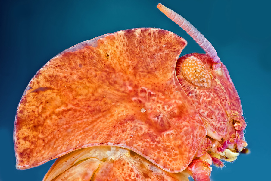 orange grass hopper extreme close up