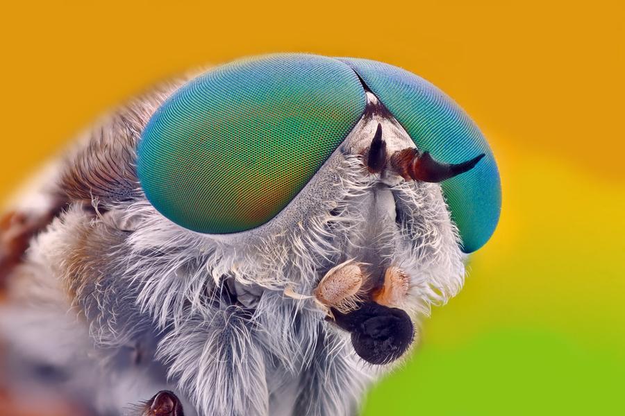 Horsefly extreme close-up