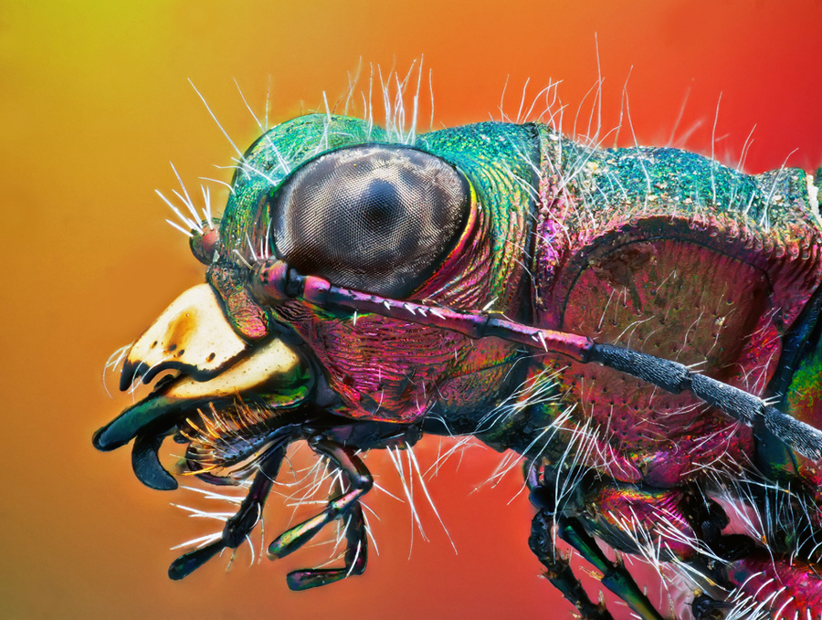 Tiger beetle high magnification photograph