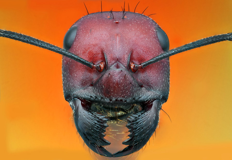 macro photograph of an ant