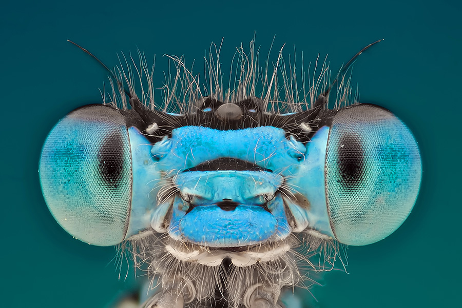 damsel fly head extreme closeup