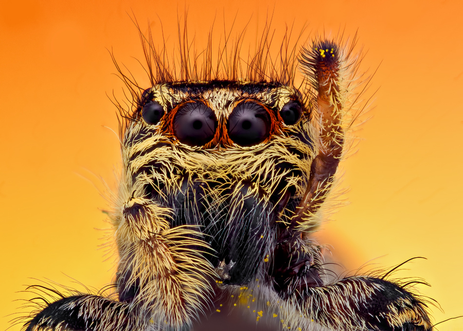 jumping spider raising leg