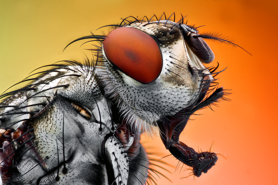 Housefly photo in high magnification
