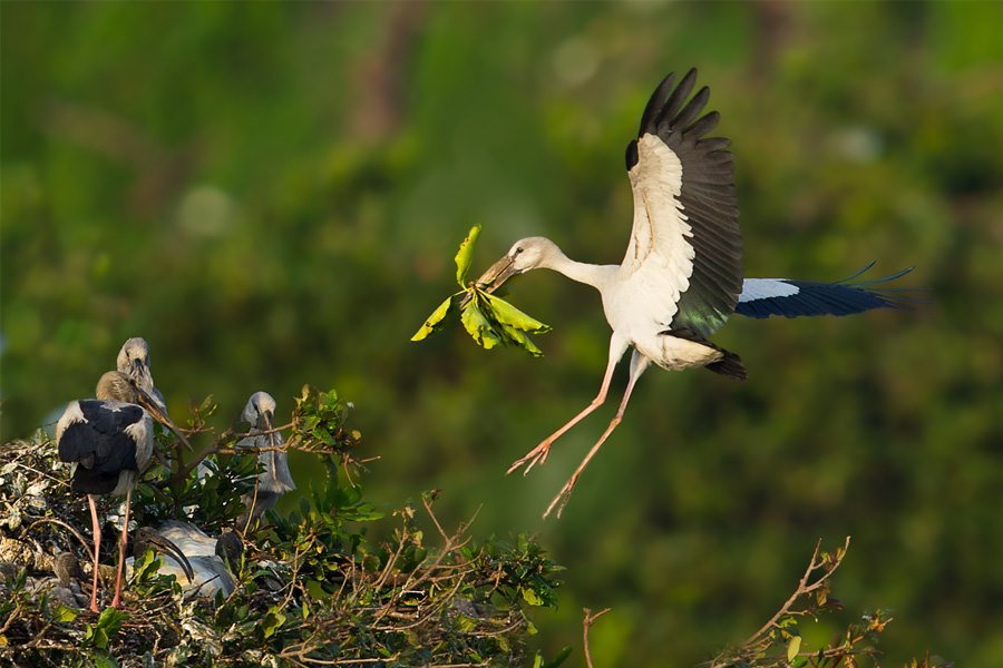 asian openbill stork Bird Photography Tips