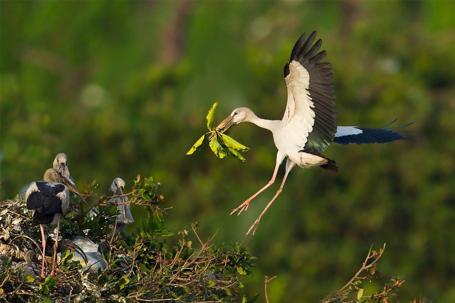asian open bill stork feeding