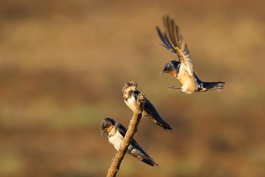 three barn swallow birds