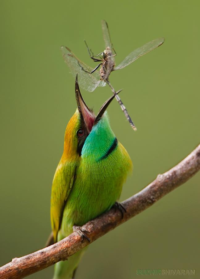 bee eater Interview With Award Winning Wildlife Photographer Sudhir Shivaram
