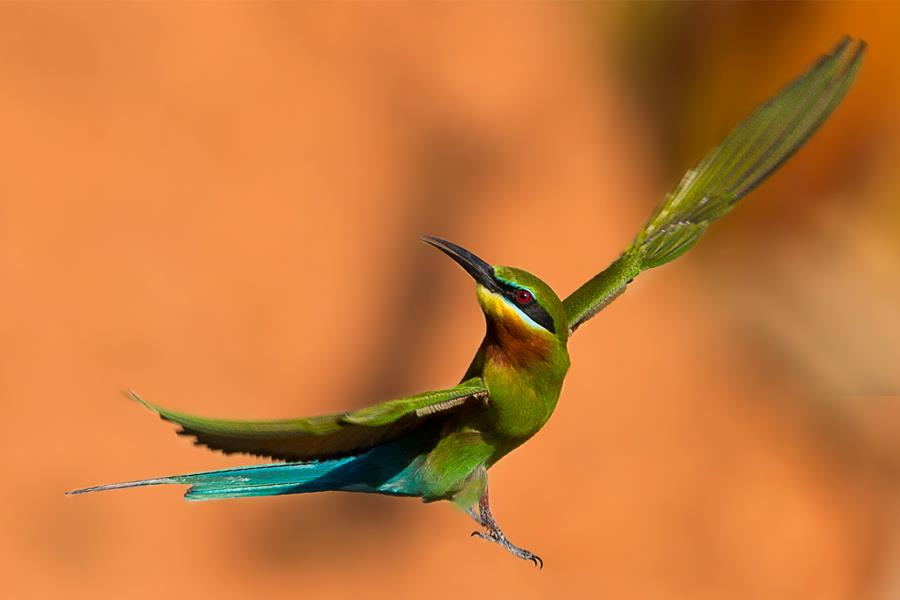 blue tailed bee eater in flight