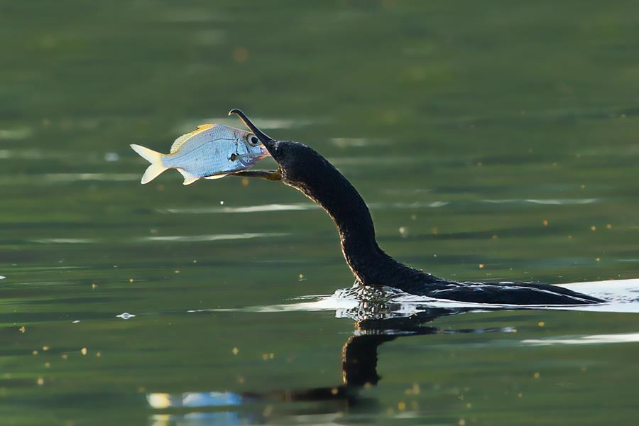 Bird catching a fish