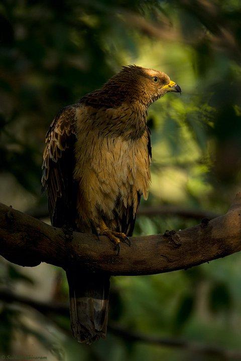 honey buzzard photo on a tree
