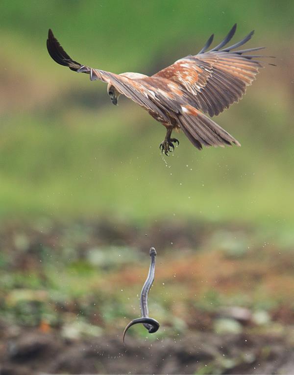 juvenile brahminy kite dropped a snake