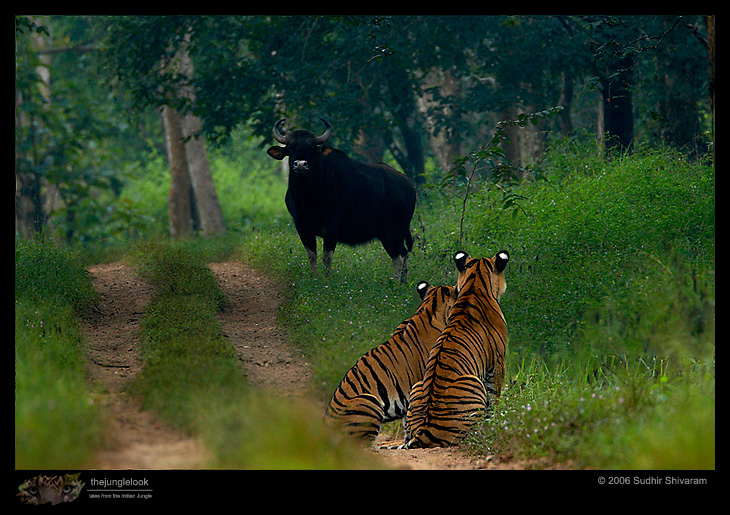 mg 5914 tiger Interview With Award Winning Wildlife Photographer Sudhir Shivaram