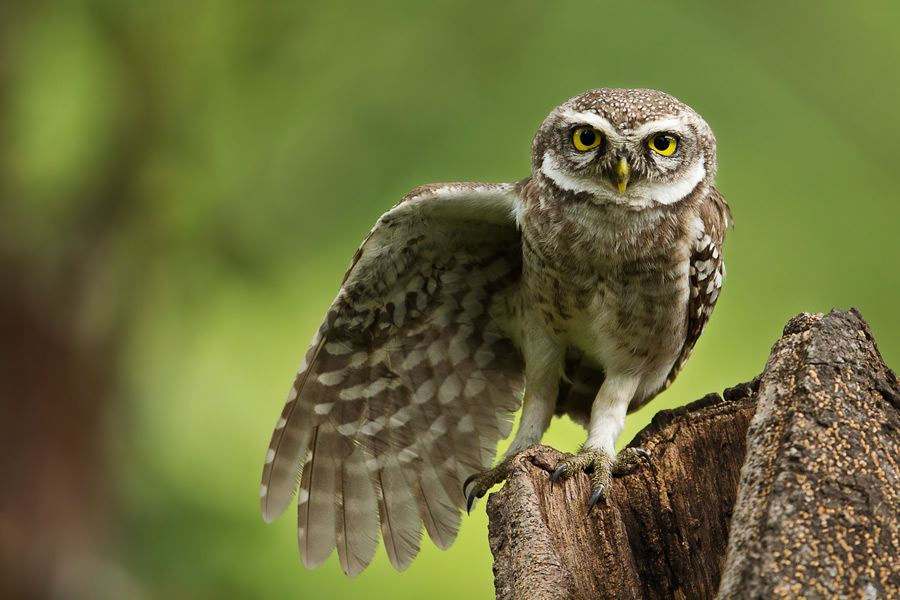 Spotted owl spreading wings