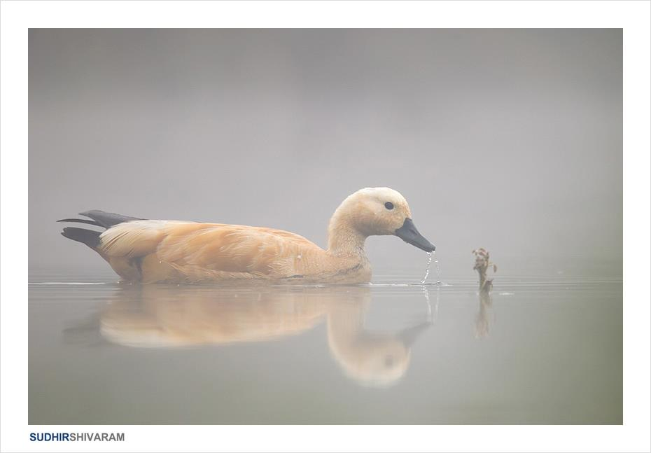 the golden duck Interview With Award Winning Wildlife Photographer Sudhir Shivaram