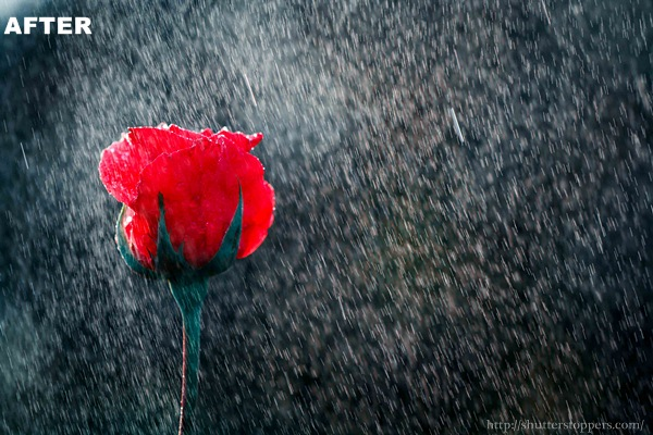 red rose in drizzle