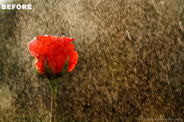 A red rose in rain