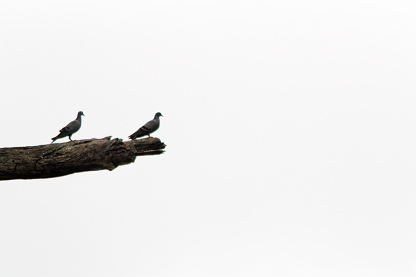 two grey pigeons on a branch high key photography