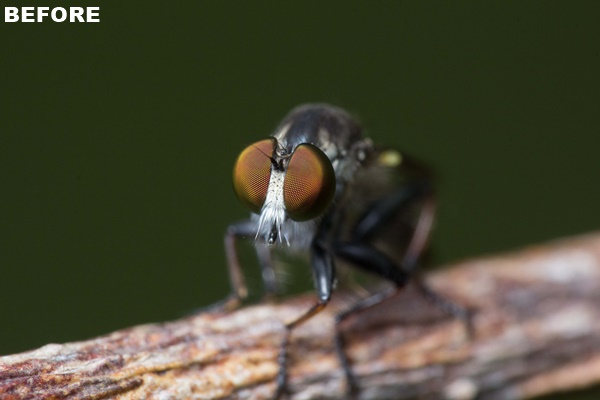 Unprocessed photo of a robber fly