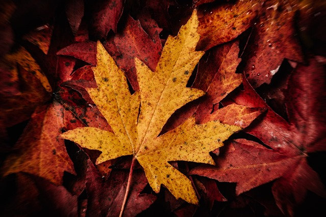 maple leaf -- foliage photography