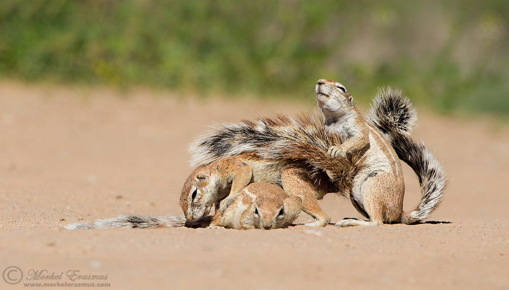 A trio of Ground Squirrels in the Kalahari desert engaging in mutual social grooming